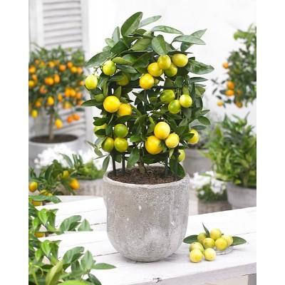 Лимонное дерево в кашпо