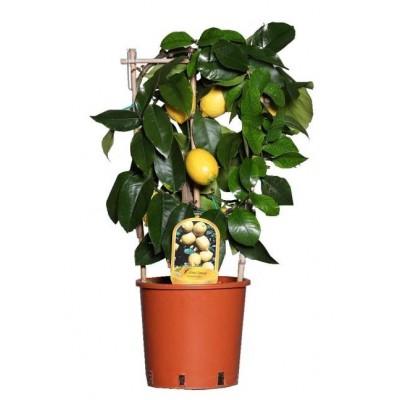 Лимон высотой 40 см.