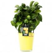 Лимонное дерево (6)