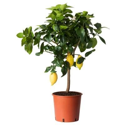 Лимон высотой 70-80 см.