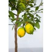 Лимон высотой 100 см.