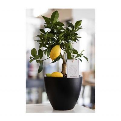 Лимон в кашпо с автополивом