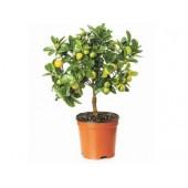 Купить мандариновое дерево в Москве