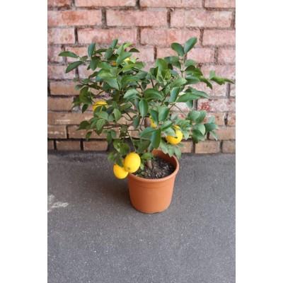 Лимон высота 70 см.