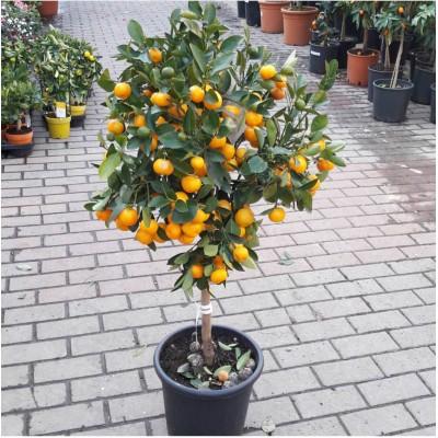 Мандариновое дерево 120 см