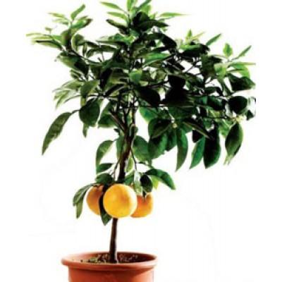 Апельсин в горшке высотой 60-70 см.