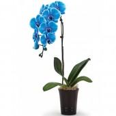 Орхидея Фаленопсис голубая