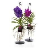 Орхидея Ванда (2)